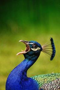 peacock_by_deoroller-d3gpzkx