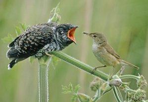 cuckoo-bird